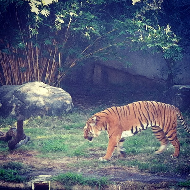 A Malayan tiger paces at Houston Zoo.